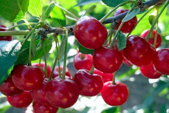 Лечебные свойства вишни: Скажем «НЕТ» стафилококку, стрептококку, воспалениям и бронхиту