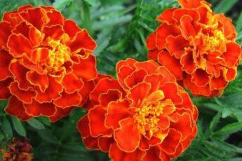 Готовим отвар бархатцев от 100 болезней! Самые простые цветы, а цена им — золото!