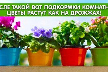 После такой вот подкормки комнатные цветы растут как на дрожжах!